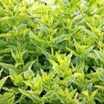 jaarcursus geneeskrachtige kruiden en wilde planten